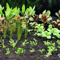 (水草 熱帯魚)おまかせ水上葉 レイアウトセット 30cm水槽用 6種(無農薬)(1パック)(水草説明書付)