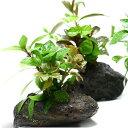 (水草 熱帯魚)Plants Arrangement ザ ボンサイ(無農薬)(1個) 北海道航空便要保温