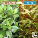 (水草)レッドルドウィジア(水上葉)(無農薬)(5本) 北海道航空便要保温