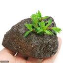 (水草)ニードルリーフ ルドウィジア(水上葉) 穴あき溶岩石付(無農薬)(1個) 北海道航空便要保温