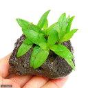 (水草)タイガーハイグロ(水上葉) 穴あき溶岩石付(無農薬)(1個)