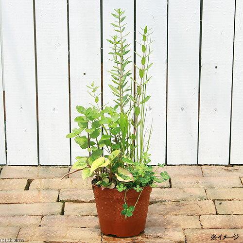 (ビオトープ/水辺植物)インスタント・ビオトープ(寄せ植え)(1鉢)(同梱不可)...:chanet:10046710