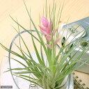 RoomClip商品情報 - (観葉植物)エアープランツ ティランジア ストリクタ ハードリーフ(1株)