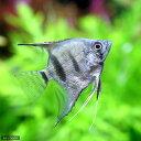 (熱帯魚)シルバーダイヤモンド・エンゼルフィッシュ(国産ブリード)(1匹)  北海道航空便要保温