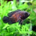 (熱帯魚)レッドオスカー(1匹)
