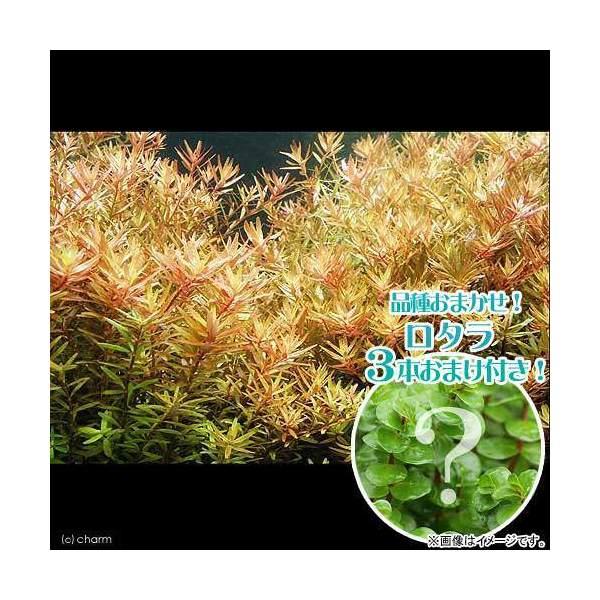 (水草)ロタラ ロトンディフォリア(無農薬)(1...の商品画像