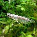 (熱帯魚)シルバーアロワナ Sサイズ(ワイルド)(1匹) 北海道・九州航空便要保温