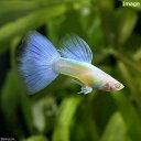 (熱帯魚)RREA・シンガーブルーネオンタキシード・グッピー(国産グッピー)(1ペア
