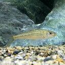 (淡水魚)コウライモロコ(5匹)