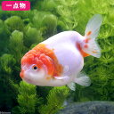 (国産金魚)一点物 桜錦/さくらにしき 加藤氏作出 12cm±(1匹) 沖縄別途送料