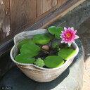 手作り睡蓮鉢(メダカ鉢) 益子焼 彩(SAI) 花型 古信楽 白鏡 睡蓮鉢・金魚鉢・メダカ鉢 関東当