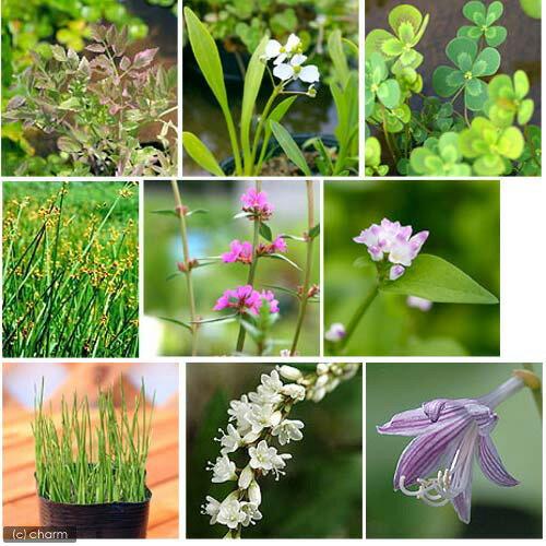(ビオトープ/水辺植物)オススメ ビオ植物(5ポットセット)【HLS_DU】...:chanet:10099617