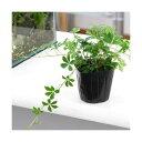 (観葉植物)パーセノシッサス シュガーバイン 3号(1ポット)の写真