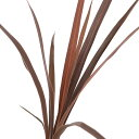 (観葉植物)コルディリネ レッドスター 4号(1鉢)