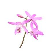 (山野草)シラン(紫蘭)3〜3.5号(1ポット)