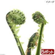 (山野草)山菜 コゴミ(クサソテツ) 3〜4号( 5ポットセット) 家庭菜園
