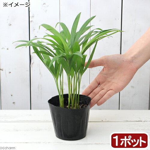 (観葉植物)ヤシ アレカヤシ 4号(1ポット)