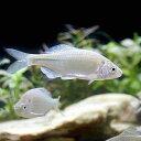 (淡水魚)シロヒレタビラ(3匹)...