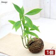 (観葉植物)ケレベラ(品種おまかせ)(1個)