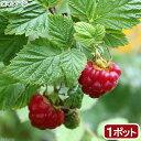 (観葉植物)果樹苗 ラズベリー インディアンサマー 3.5〜4号(1ポット) 家庭菜園 北海道冬季発送不可