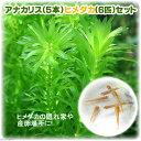 (水草 熱帯魚)アナカリス(輸入品)5本 +ヒメダカ(6匹) セット 北海道航空便要保温
