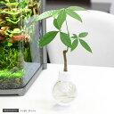 画期的な観葉植物(観)カプセルプランツ パキラ 【あす楽対応_関東】