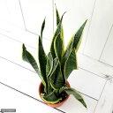 (観葉植物)サンスベリア ローレンチ 5号(1鉢)