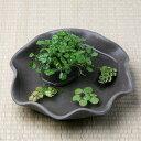 (水草)私の小さなアクアリウム 〜わびさび益子焼 焼締 楕円 小のノチドメと浮き草のセット(受皿付)〜 本州・四国限定