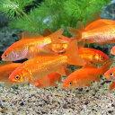(金魚)生餌 小和金(コワキン) エサ用金魚(5匹) エサ金 餌金