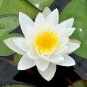 (ビオトープ)睡蓮 温帯性睡蓮(スイレン)(白) ホワイト サルタン White Sultan (1ポット) (休眠株)