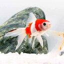 (国産金魚)桜コメット 江戸川産(1匹)