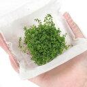 (水草)ニューパールグラス(水上葉)(無農薬)(1パック分) 北海道航空便要保温