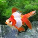 (国産金魚)飯田琉金 更紗 3歳 9〜12cm(1匹)