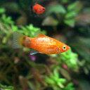 (熱帯魚)レッド・ミッキーマウスプラティ(4匹) 北海道・九州・沖縄航空便要保温