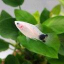 (熱帯魚)ホワイト・ミッキーマウスプラティ(4匹) 北海道・九州・沖縄航空便要保温