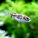 (熱帯魚)南米淡水フグ Sサイズ(1匹) 北海道・九州航空便要保温