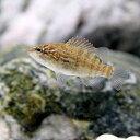 (淡水魚)オヤニラミ Sサイズ(1匹)