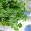 (ビオトープ/水辺植物)メダカの鉢にも入れられる水辺植物! ウォタークローバー ムチカ(3ポット分)
