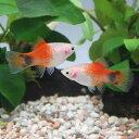 (熱帯魚)レッドトップホワイト・ミッキーマウスプラティ(4匹...