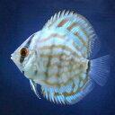 (熱帯魚)ブリリアントターコイズ・ディスカス(Sサイズ)(3匹) 北海道・九州・沖