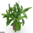 (水草)ライフマルチ(茶) イエローアマニア(水上葉)(無農薬)(1個)