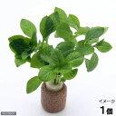 (水草)ライフマルチ(茶) ルドウィジア レペンス グリーン(水上葉)(無農薬)(1個)