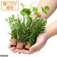 (水草)ライフマルチ おまかせ有茎草5種(水上葉)(無農薬)(計5個) 北海道航空便要保温