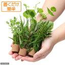 (水草)置くだけ簡単 ライフマルチ(茶) おまかせ有茎草5種(水上葉)(無農薬)(計5個) 北海道航
