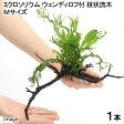 (水草)ミクロソリウム ウェンディロフ 枝状流木 Mサイズ(約20〜25cm)(1本)