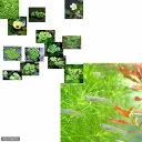 (めだか 水草)黒メダカ初心者セット 黒メダカ(10匹) + おまかせ浮き草3種セット