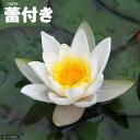 (ビオトープ/睡蓮)蕾付き 姫スイレン 白 スノー・プリンセス タグ付(1ポット)【HLS_DU】