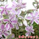 (観葉植物)芝桜 多摩の流れ(白&ピンク 絞り咲系) 3号( 5ポットセット) 北海道冬期発送不可