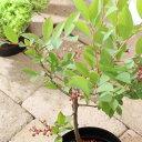 (観葉植物)果樹苗 ブルーベリー ティフブルー(大実ラビットアイ系) 4号(1ポット) 家庭菜園