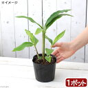 (観葉植物)ハーブ アルピニア ゲットウ(月桃) 4号(1ポット) 虫除け植物 家庭菜園